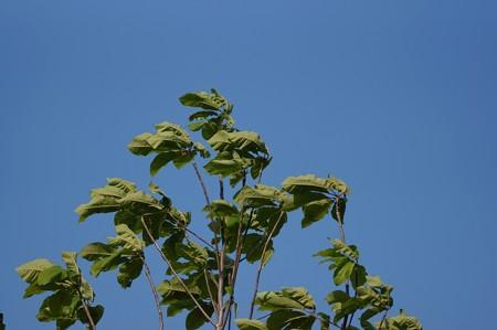 朴の木(ホオノキ)