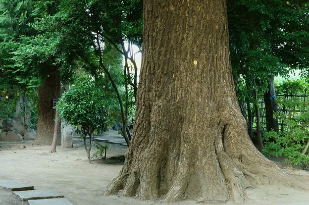葛西神社 巨樹に出会う