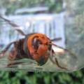 Photos: オオスズメバチの顔