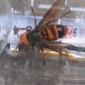 Photos: 4センチの蜂