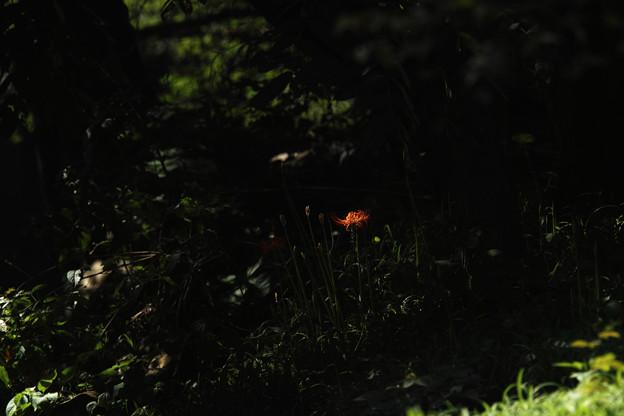 早咲きの曼珠沙華