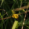 Photos: ノアズキ Dunbaria villosa