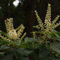 Photos: リョウブ Clethra barbinervis