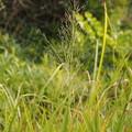 Photos: ヌマガヤ Moliniopsis japonica