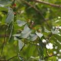 Photos: ヨコグラノキ Berchemiella berchemiifolia