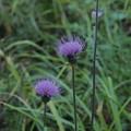 Photos: ノハラアザミ Cirsium oligophyllum