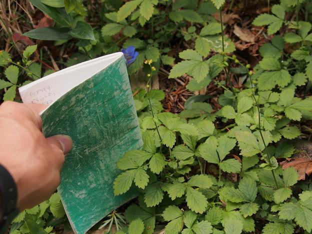 キンミズヒキ Agrimonia pilosa var. japonica