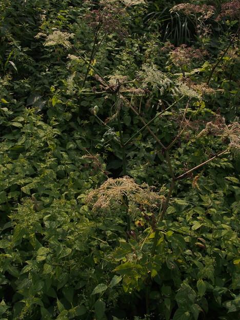 シシウド Angelica pubescens