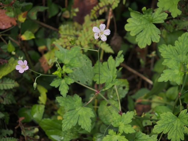 ミツバフウロ Geranium wilfordii