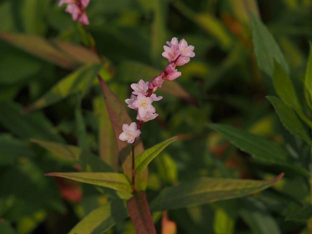 サクラタデ Persicaria odorata subsp. conspicua