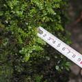 Photos: サイゴクホングウシダ Osmolindsaea japonica