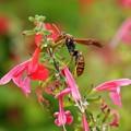 ハチノムサシ