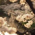 写真: 夕映え桜