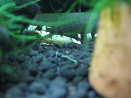 20140703 60cmエビ水槽の抱卵ママ