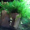 Photos: 20140730 60cmエビ水槽の稚エビ