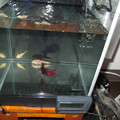 20140801 22cmベタ水槽の掃除