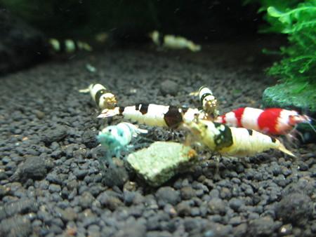 20140827 60cmエビ水槽の道産子海老さんのモニター餌の食い付き