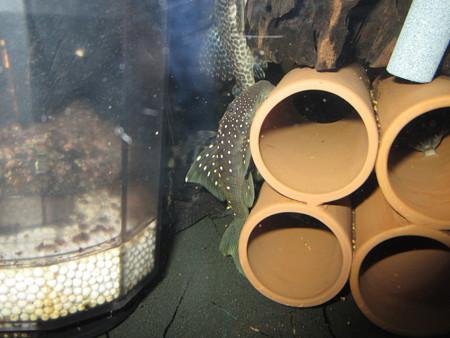 20140904 45cmプレコ水槽のプレコ達