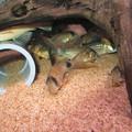 Photos: 20141006 60cmコリドラス水槽のコリドラス達