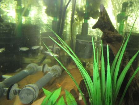 20151111 60cmコリドラス水槽の青メダカ