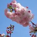 写真: 桜ブラシ?