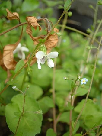 ニョイスミレ(Viola verecunda A. Gray)