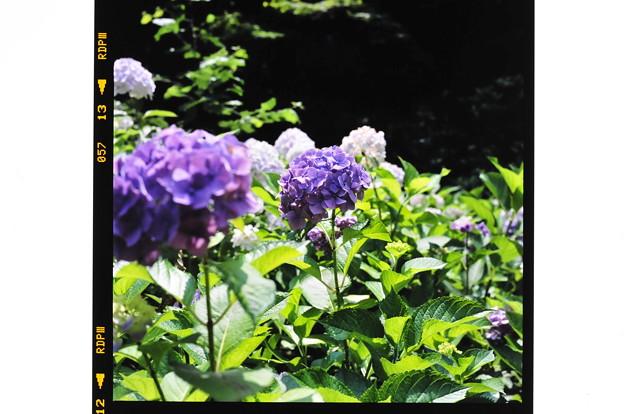 140616紫陽花4