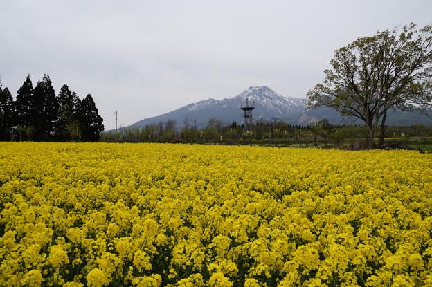 大洞原菜の花畑 2
