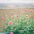 写真: 畑に咲く