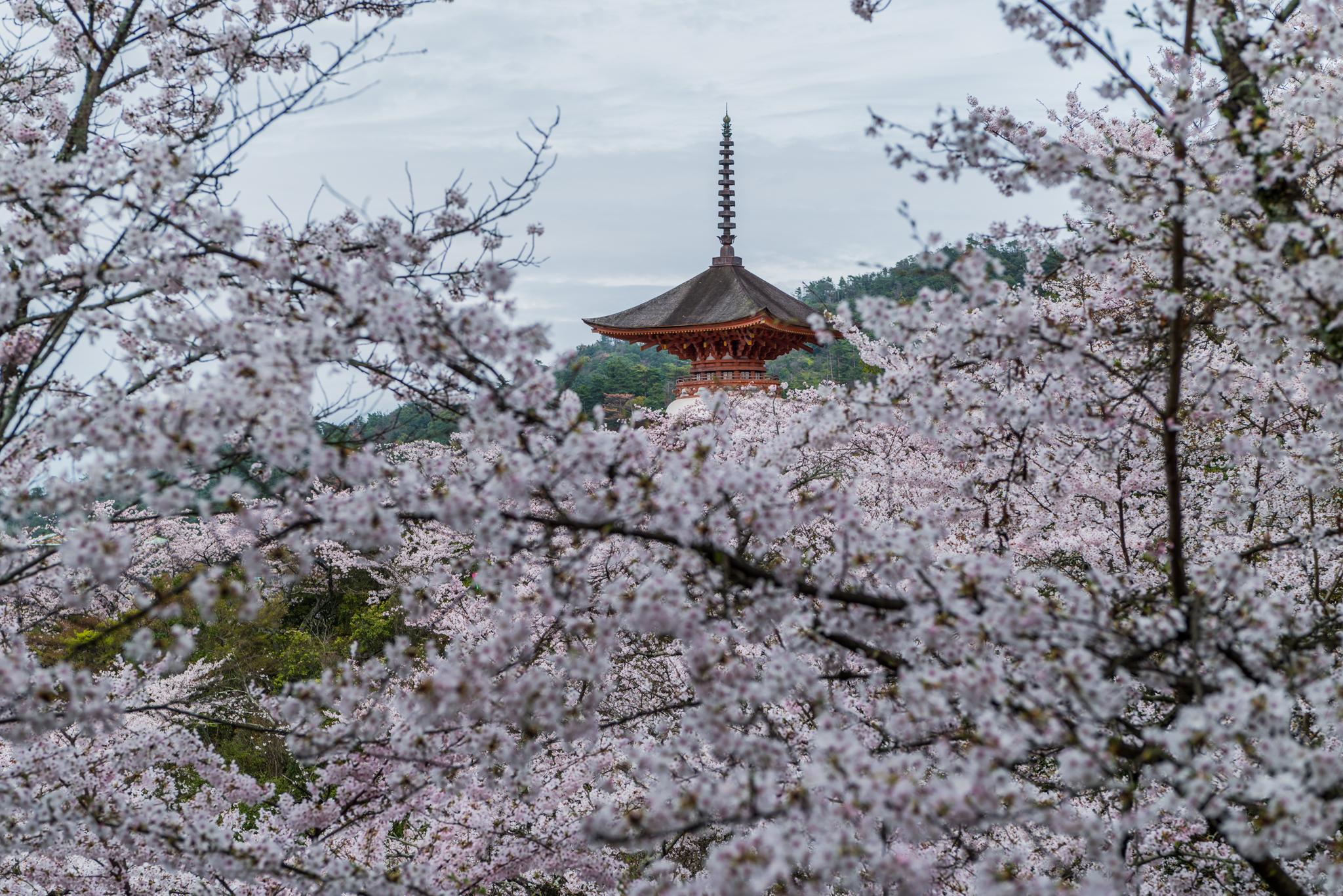 桜の向こうに多宝塔-2