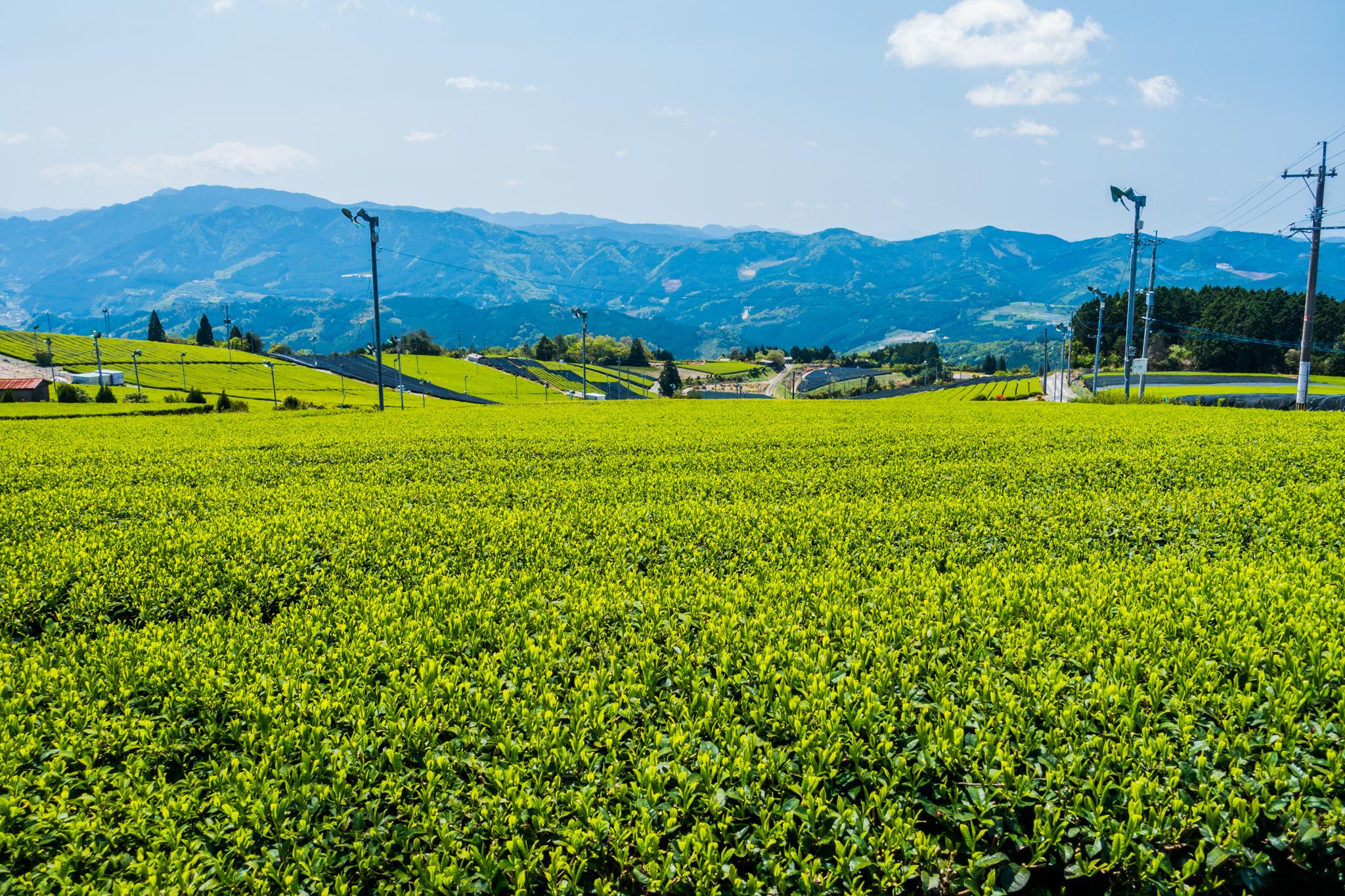 星野の茶畑