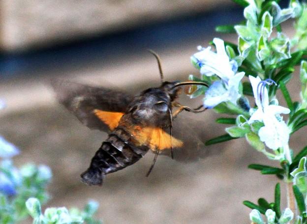 スズメ蛾 ホシホウジャク(星蜂雀)