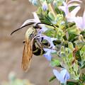 Photos: ハナ蜂?・・1  10:13