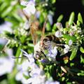 Photos: ハナ蜂?・・2  10:13