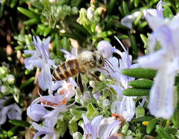 蜜蜂・・ロ-ズマリ-に舞う 1