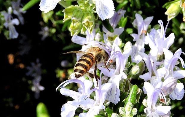 蜜蜂・・ロ-ズマリ-に舞う 2