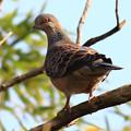 Photos: 野鳥・・雉鳩   10:22