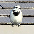 写真: 冬の野鳥・・ハクセキレイ  10:22
