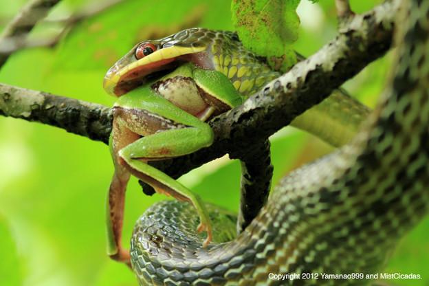 シマヘビの画像 p1_30
