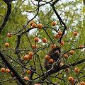 柿の実を食べる、ニホンザル