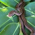 写真: シマヘビ