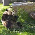 写真: ジャイアントパンダ