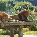 写真: ライオン