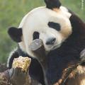 Photos: ジャイアントパンダ