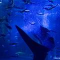 写真: ジンベイザメ