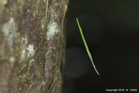 オナガグモ