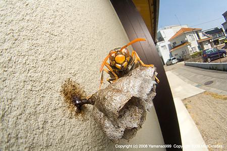 住宅地のキアシナガバチ
