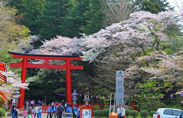 香取神宮満開の桜