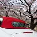 Photos: 赤幌と桜