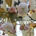Photos: 普賢象桜